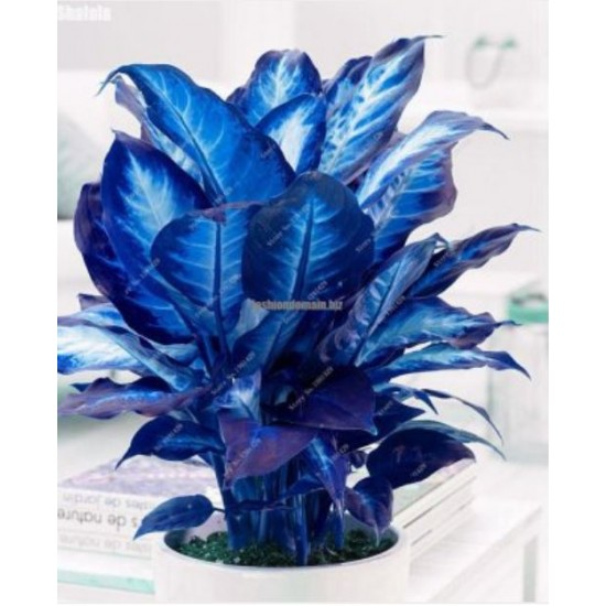 20 PCS Blue Dieffenbachia Seed Plants Bonsai Plant DIY Home Garden Pot Plante Indoor Perennial